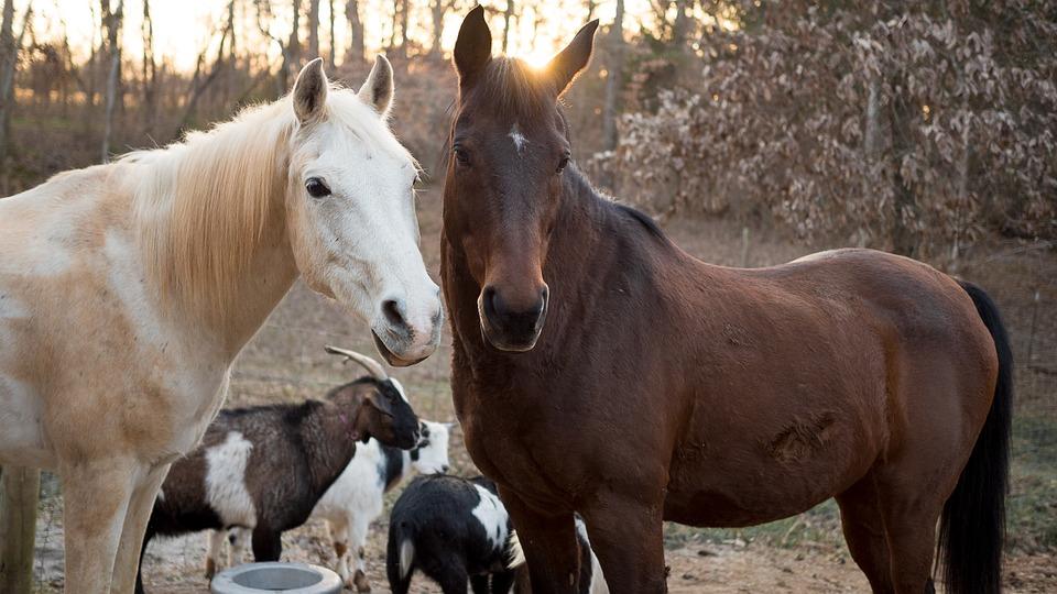 chevaux-chevres