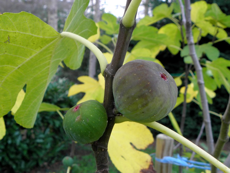 figues-automne-2019