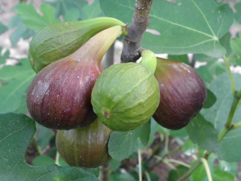 figues-ete-2017