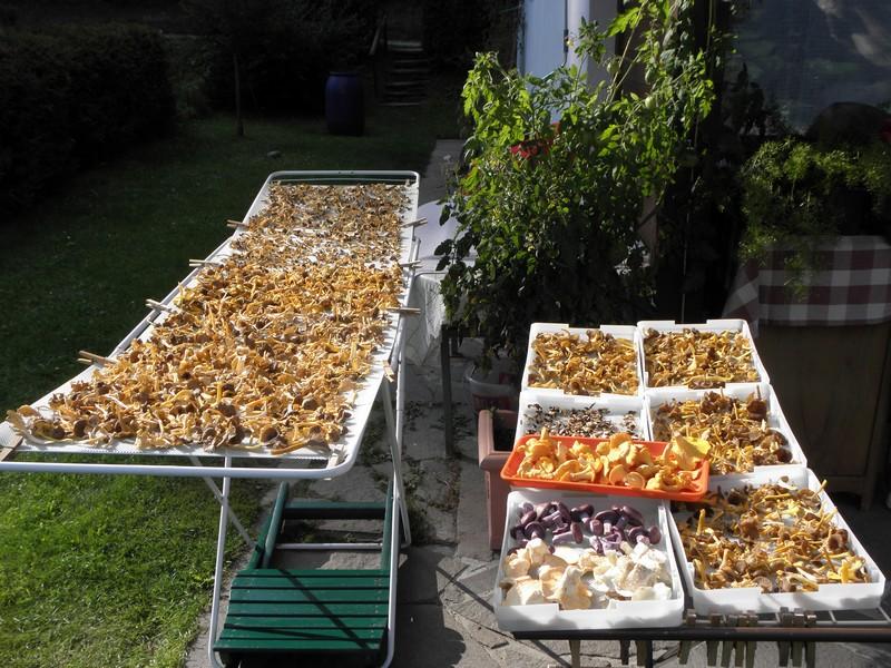 table-de-sechage-des-champignons