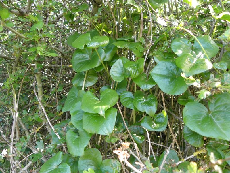 tamier-feuilles