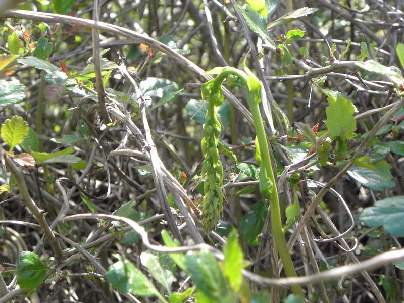 tamier-jeune-pousse