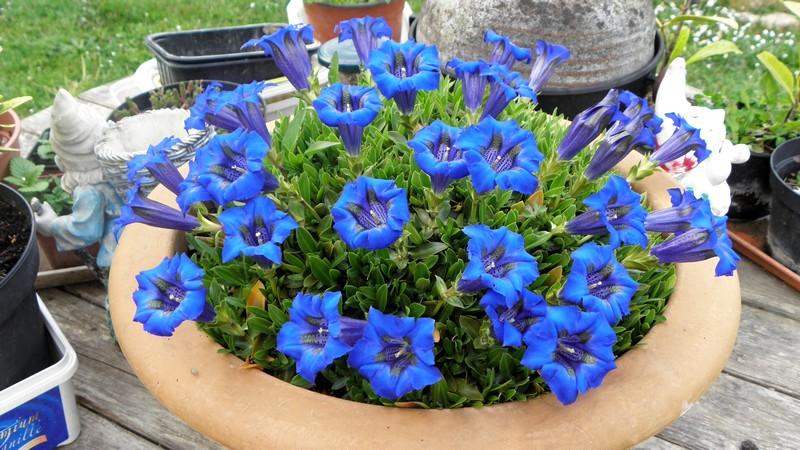 gentiane-bleue