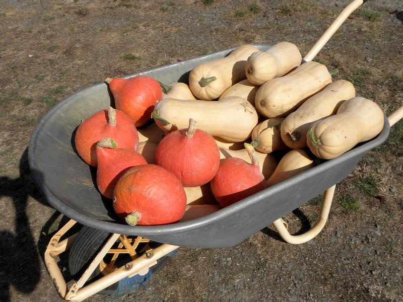 potimarrons-butternut