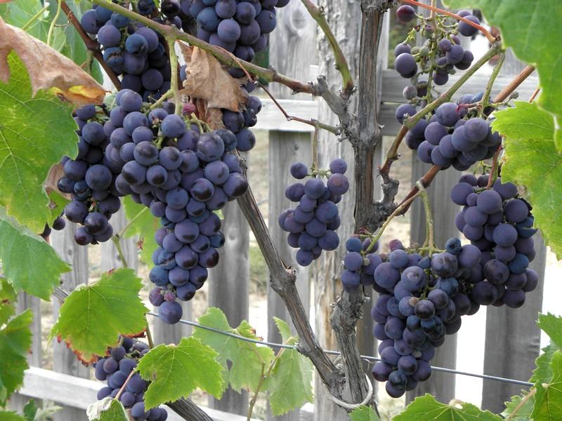 raisin-vigne