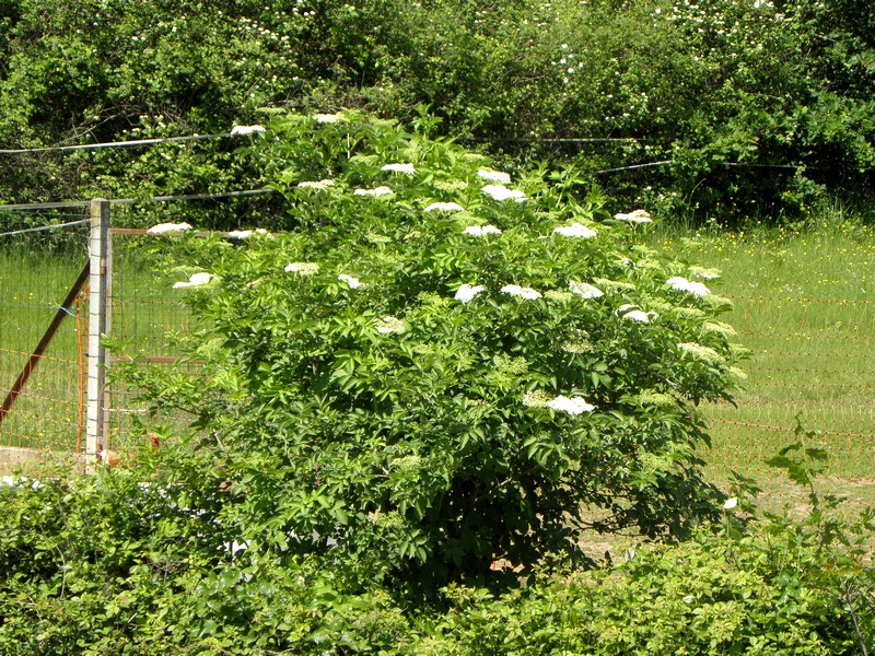 sureau-arbuste-dans-haie