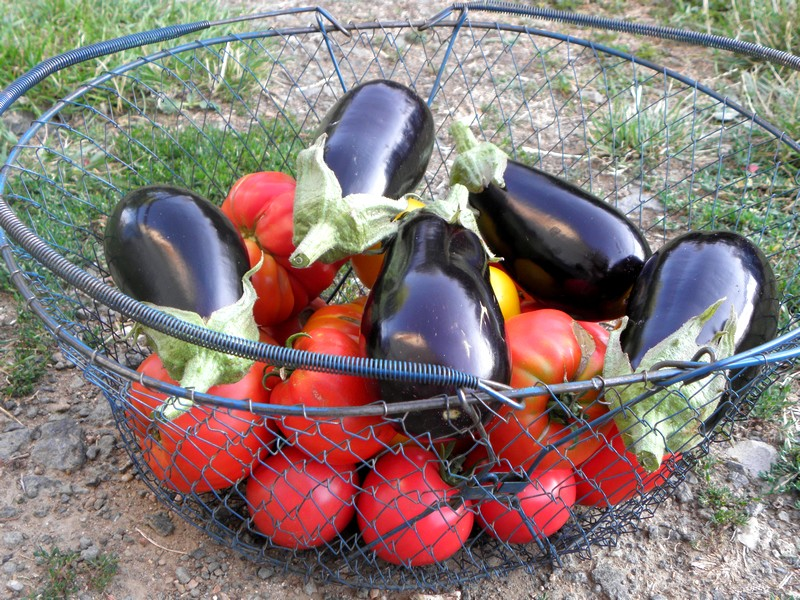 tomates-aubergine-aout-2019